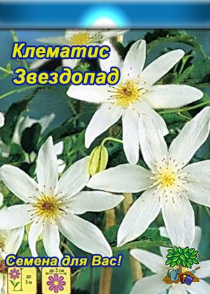 Klematis-metelchatyiy-zvezdopad.jpg
