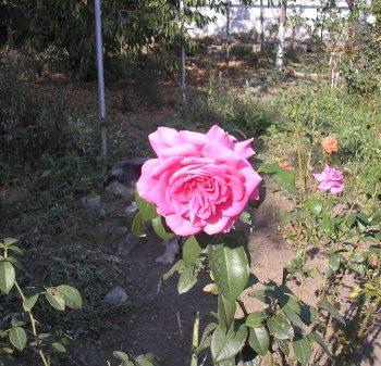 Пересадка старого куста роз