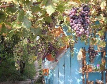 Как защитить кусты винограда от ос