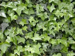Вечнозелёные лианы на приусадебном участке